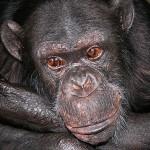 chimpanzee6
